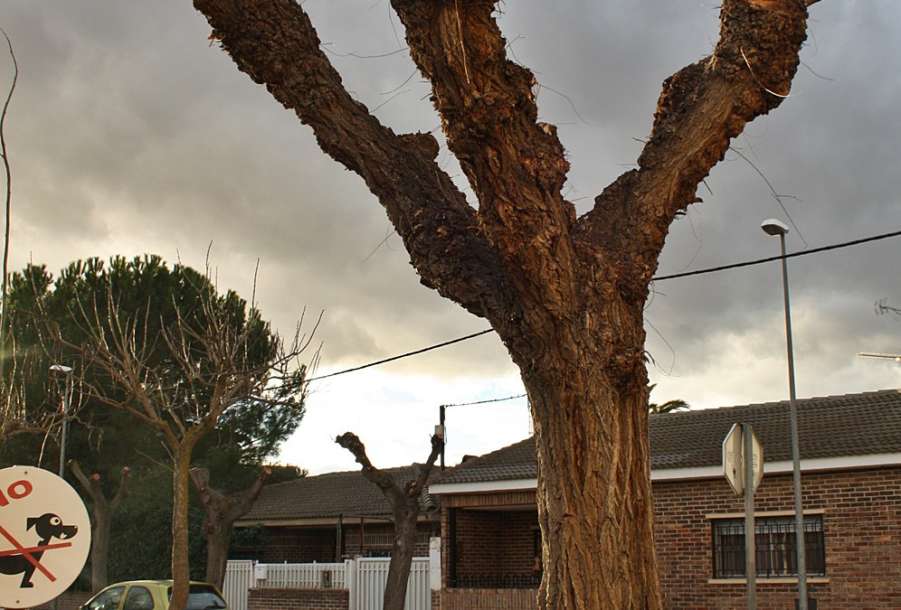 Amigos de la Tierra denuncia podas salvajes en arbolado urbano
