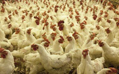 Oposición de varias organizaciones a la ampliación de una explotación avícola en Huesca